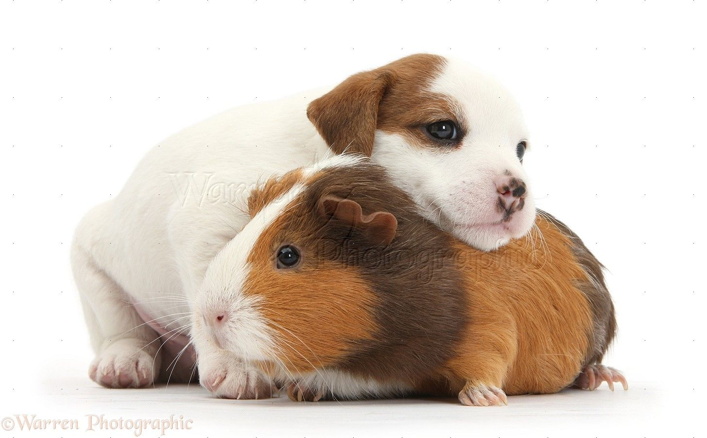 Pets: Jack Russell Terrier puppy and Guinea pig photo - WP34309