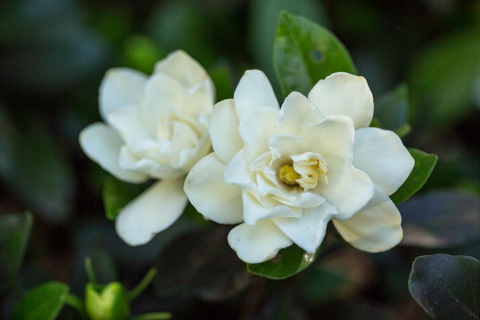 Sweet Tea Gardeniathe Classic Corsage Flower Gardenia Delivers