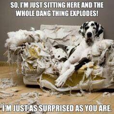 Big Dog On Shredded Up Chair Funny Surprised Dog Funny Animal
