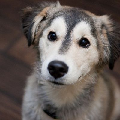 a golden and husky mix. Cute dog mixes, Husky retriever