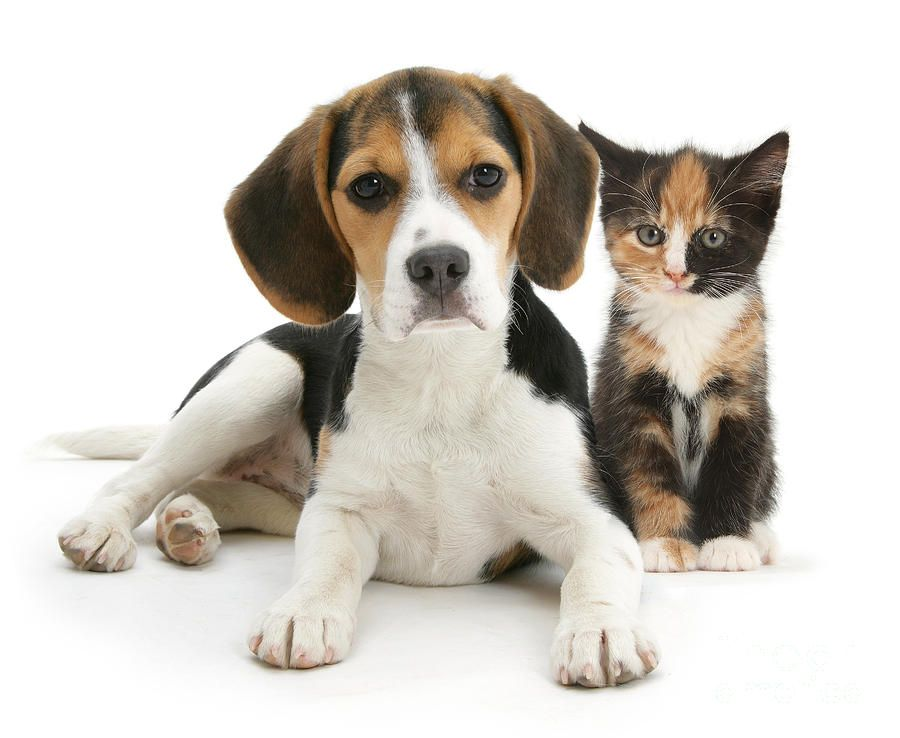 Beagle And Calico Cat Beagle Puppy Cool Pets Cute Animals