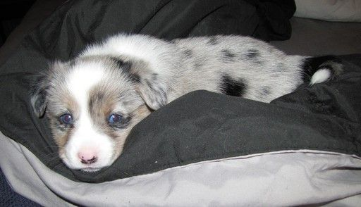 Litter of 9 Welsh Cardigan Corgi puppies for sale in