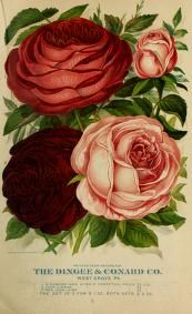 [New guide to rose culture]