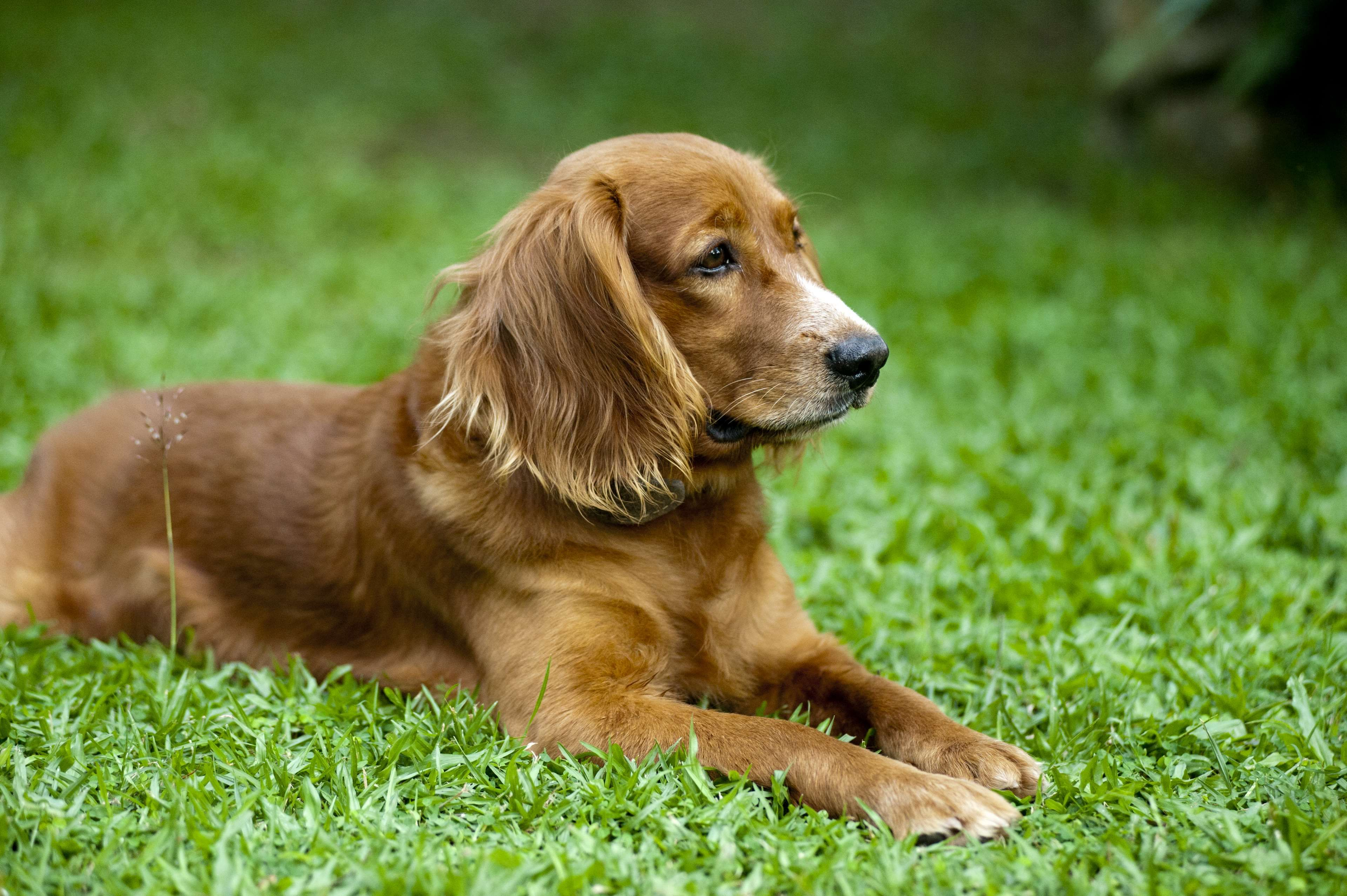 Popular Spaniel Canine Adorable Dog - 10673d1f65c97b8fa00f4be7f9a99aa2  You Should Have_973559  .jpg