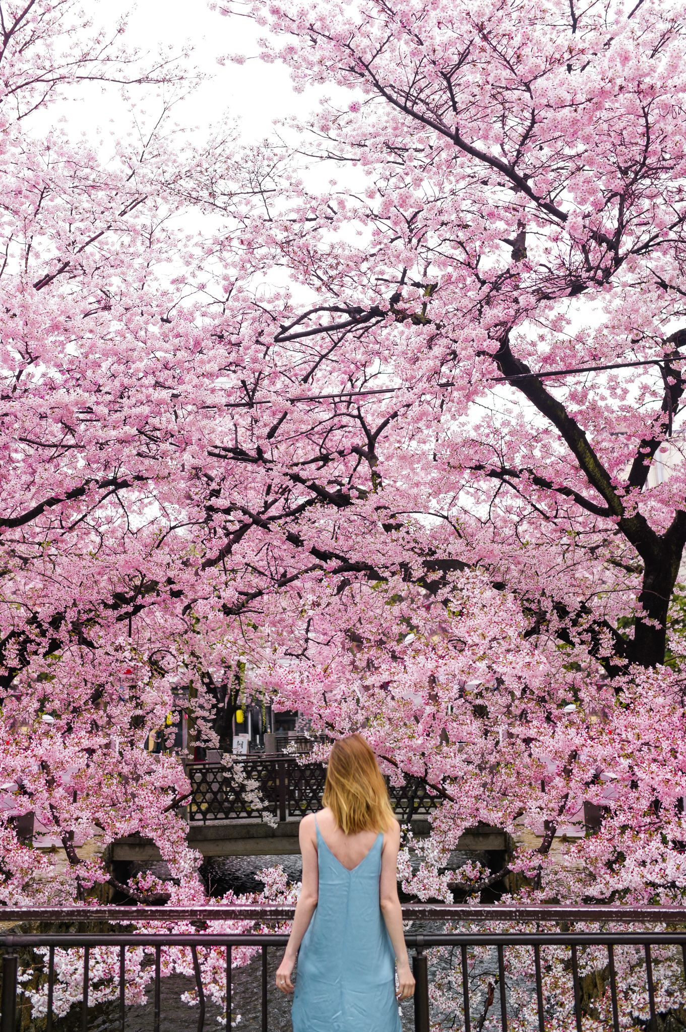 A Complete Guide To Japan S Cherry Blossoms With A Map Why Japan S Cherry Blossoms Should Be On Your Cherry Blossom Japan Seasons Photography Cherry Blossom