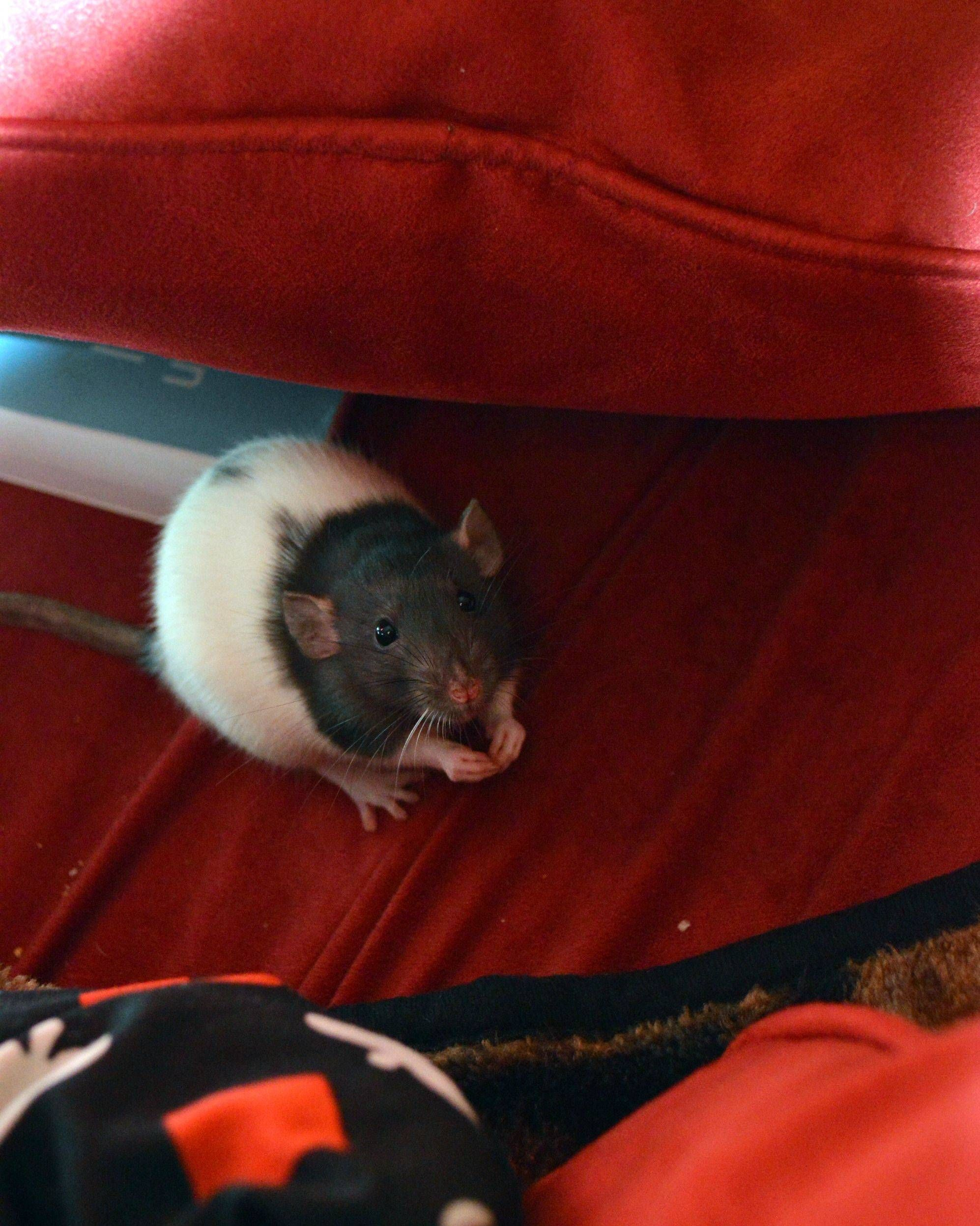 Please Sir Can I Have Some More Imgur Cute Rats Pet Rats Small Pets
