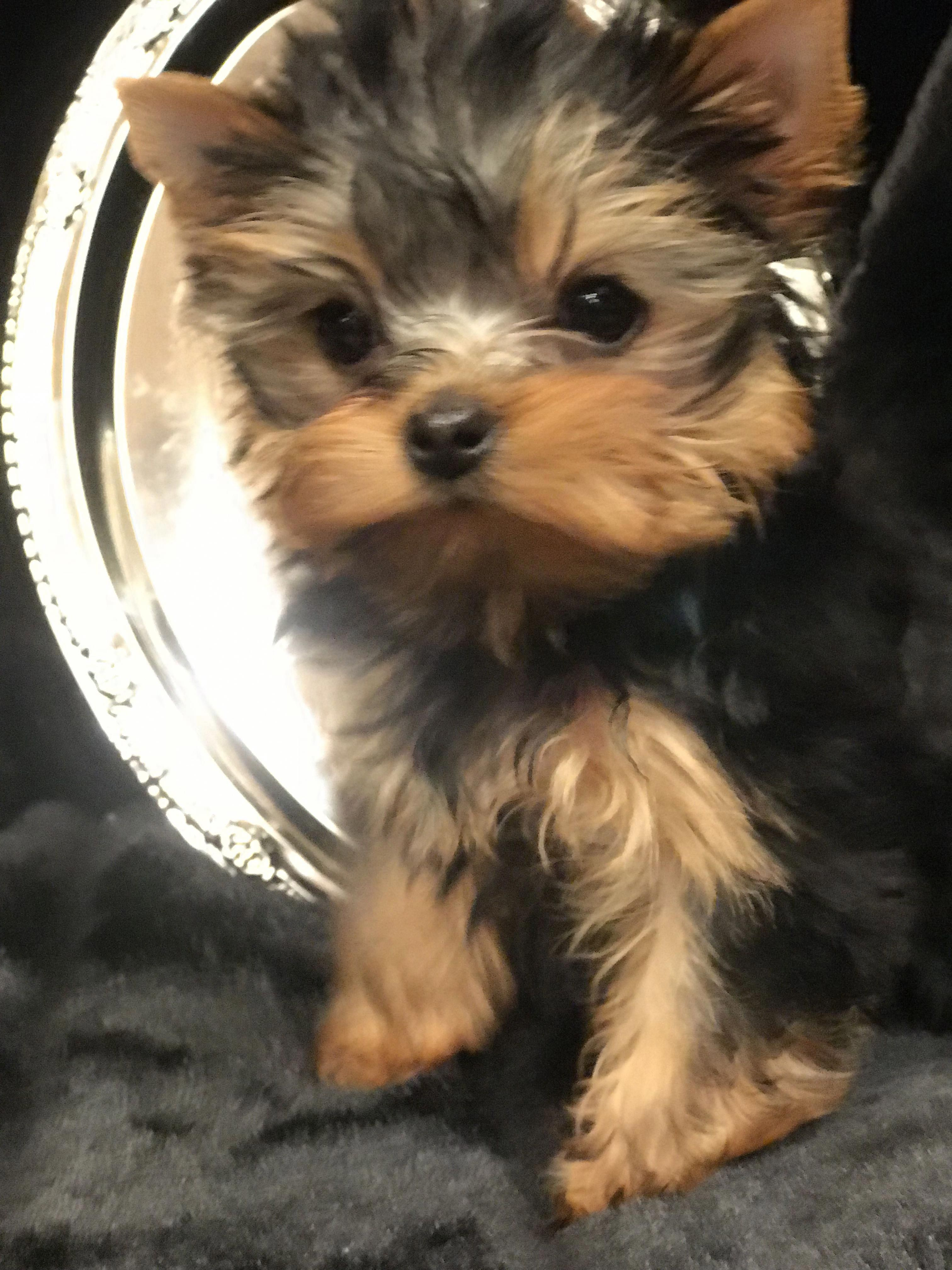 Yorkshire Terrier Puppies San Diego