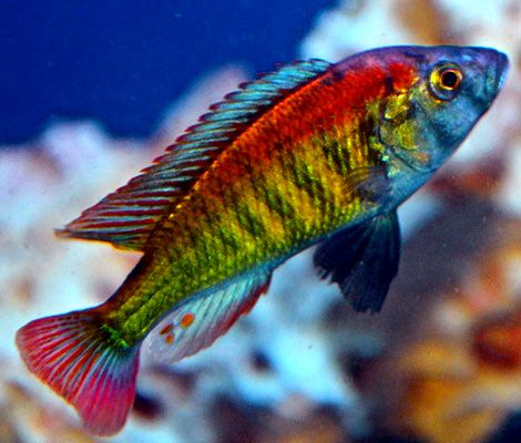 Astatotilapia sp 35 tomato african cichlids for African freshwater fish