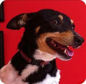 Birmingham Al Rat Terrier Mix Meet Mr T A Dog For Adoption