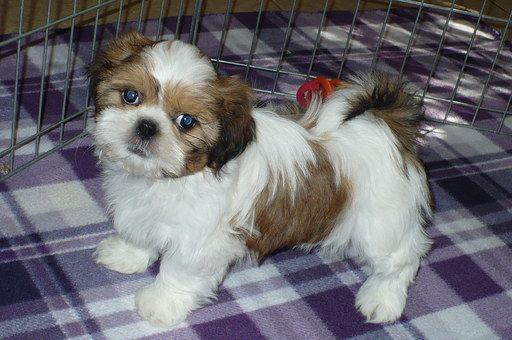 Shih Tzu Puppy For Sale In Tucson Az Adn 23961 On Puppyfindercom
