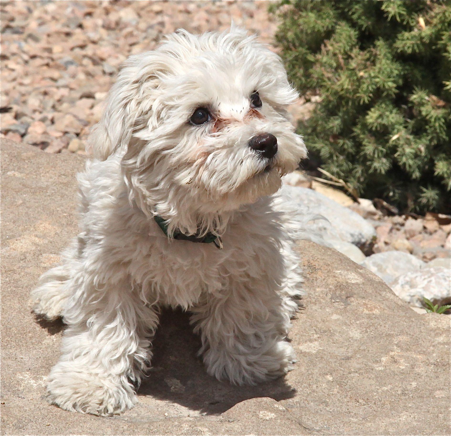 Bichon Maltese Cross Maltese Cutties Maltese Dogs Maltese Puppy