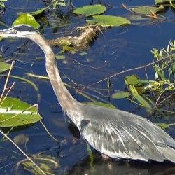 Great blue herons are disappearing from Maine's coast and nobody knows why