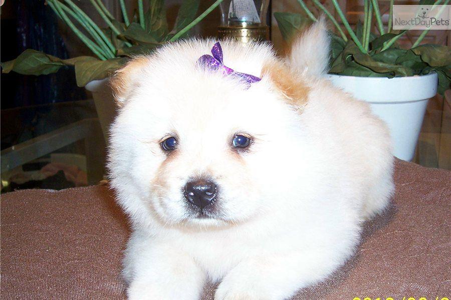 Meet Tex Akc 87 A Cute Chow Chow Puppy For Sale For 700 Tex Akc