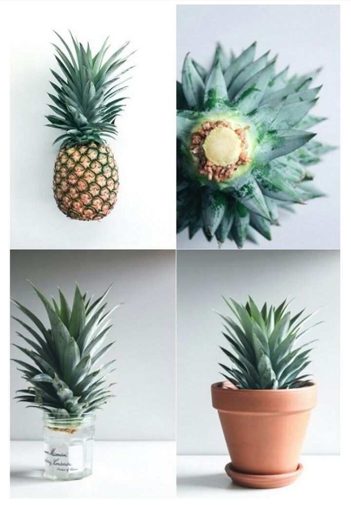 http://style-files.com/2016/08/21/diy-project-grow-your-own-pineapple-plant/