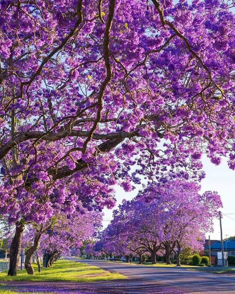 Australia S Answer To Cherry Blossom Season Has Arrived As Pockets Of The Country Burst Into Bloom With Jacar Jacaranda Tree Beautiful Gardens Flower Landscape