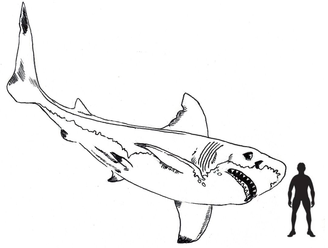 Scale drawing by Everything Dinosaur of a Megalodon Art