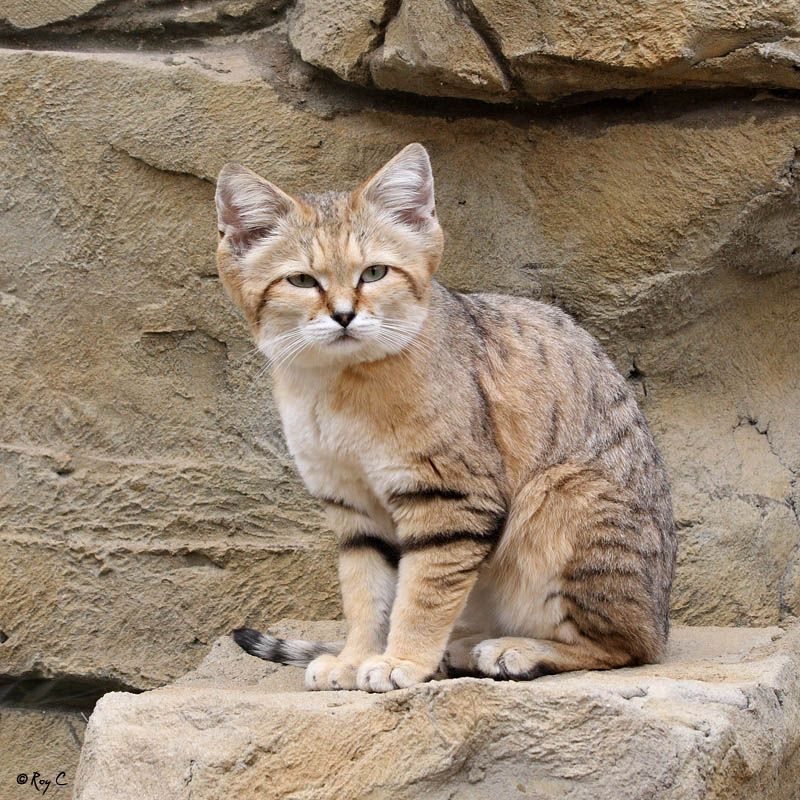 Sand cats are found primarily in both sandy and stony