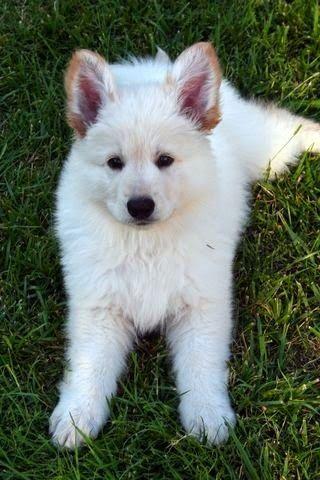 White German Shepherd Puppy Resting White German Shepherd