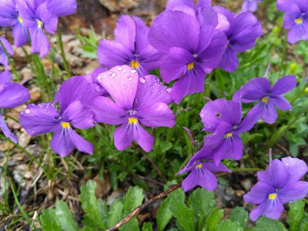 fleurs sauvages des montagnes, fleurs des alpes en photos | fleurs