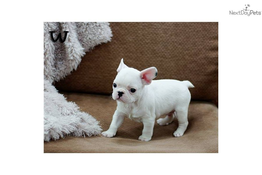 Miniature French Bulldogs For Sale French Bulldog Puppy For Sale
