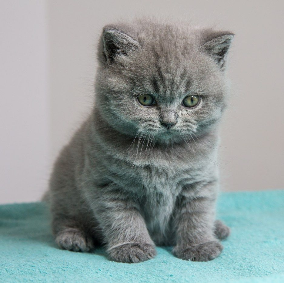 British Shorthair British shorthair kittens, British