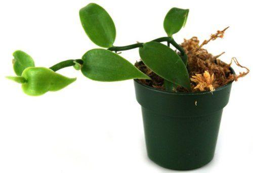 Vanilla planifolia - Vanilla Orchid
