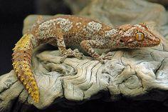 Strophurus ciliaris ciliaris  #lizards #geckos