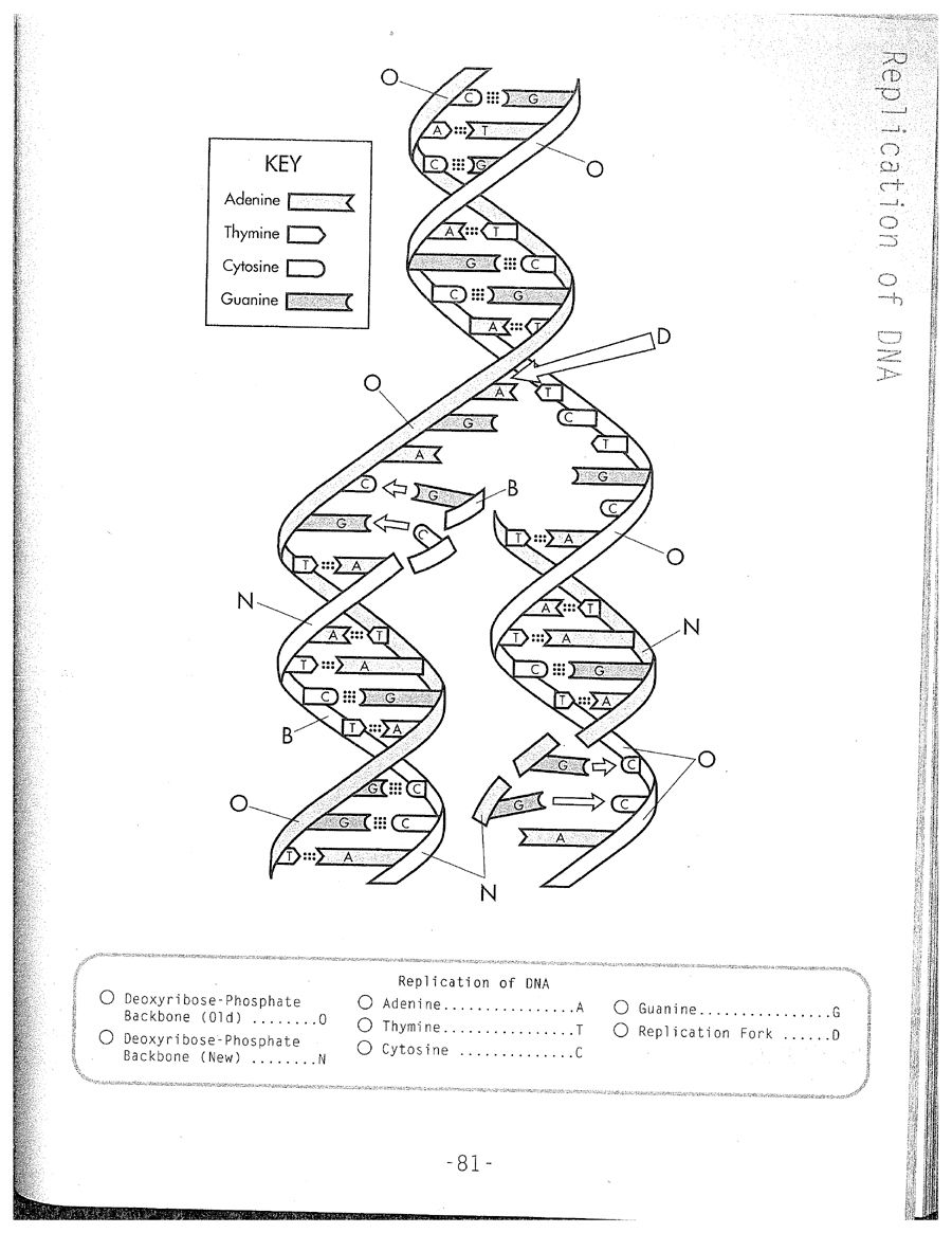 DNA Replication Coloring Worksheet on Dna Coloring Worksheet ...