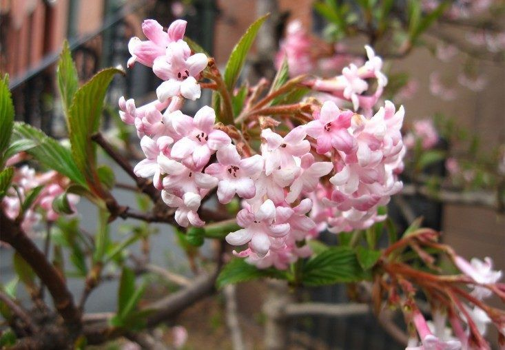 8 Cold Climate Flowering Shrubs And Small Trees For Early Spring Gardenista Flowering Shrubs Small Garden Shrubs Garden Shrubs