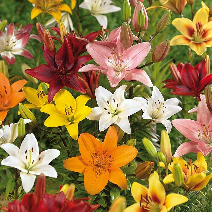 Imagine How Wonderful Lilies Will Look Once The Chill Of