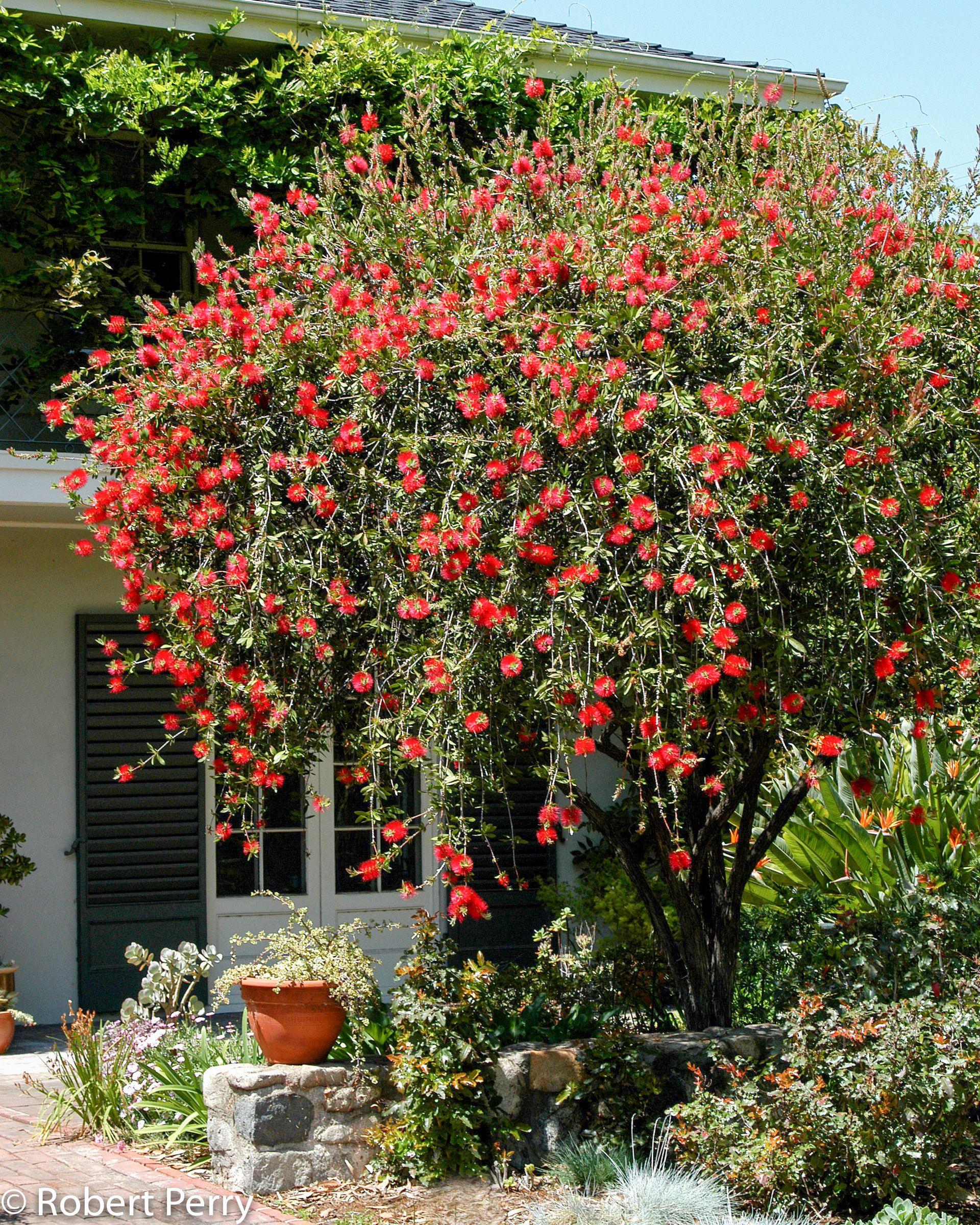 106c8349df9c7daf186237b6ef2ef2ca - Australian Native Trees For Small Gardens