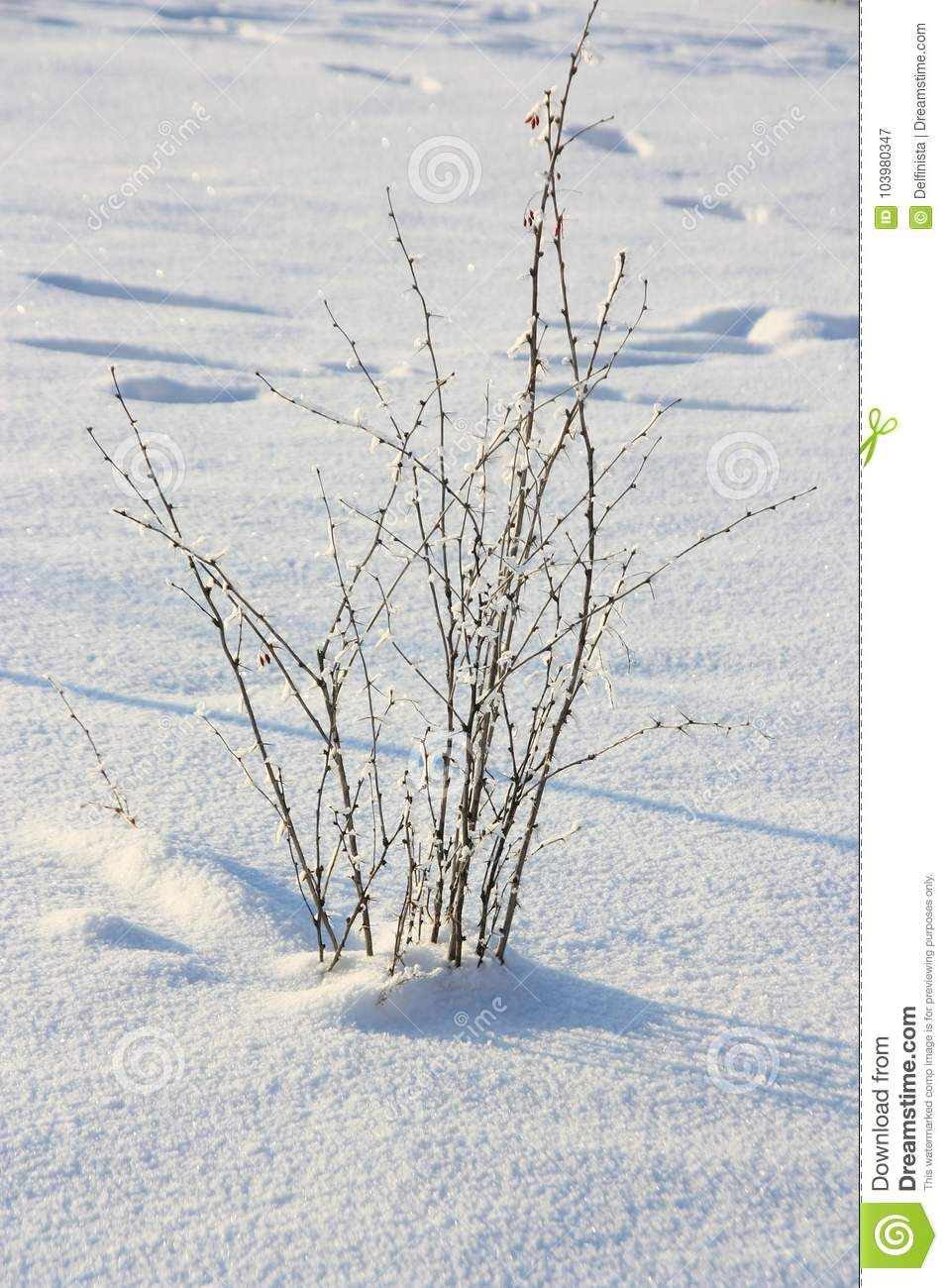 Photo about winter background snowcovered bush with icy drops on photo about winter background snowcovered bush with icy drops on white blue snow backdrop madrichimfo Images