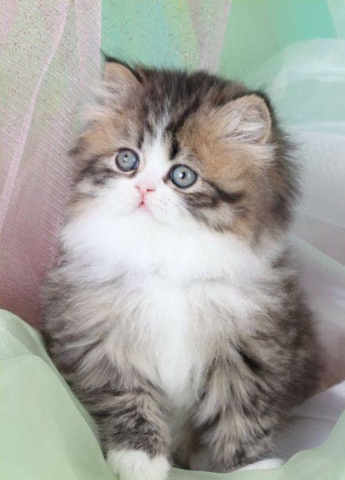 Cat Cute Cutecat Cutecats Cutrcatpic Cutecatspic Cutecatpicture Cutecatspictures Pet Kittens Cutest Teacup Persian Kittens Cute Cats