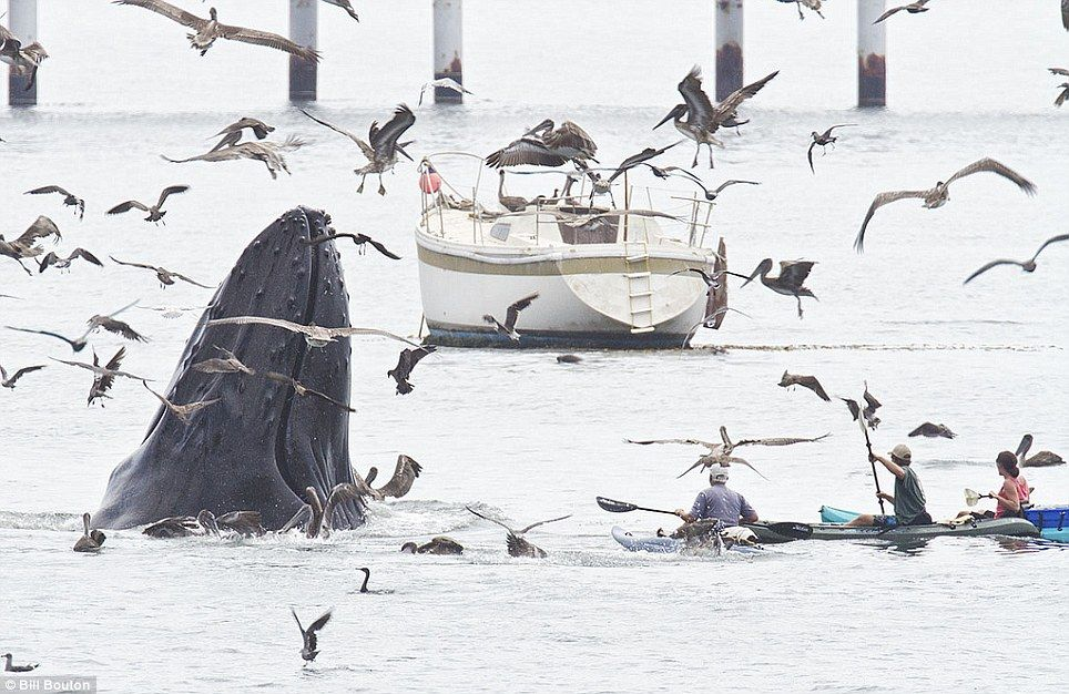 Stunning moment a humpback whale breached the water as he fed in the middle of a sleepy Californian fishing harbour    Read more: http://www.dailymail.co.uk/news/article-2191301/A-whale-tale-Amateur-photog-captures-stunning-shots-humpbacks-feeding-California-waters-surrounded-fearless-water-revelers-enjoying-aquatic-spectacle.html#ixzz24TFcy41j