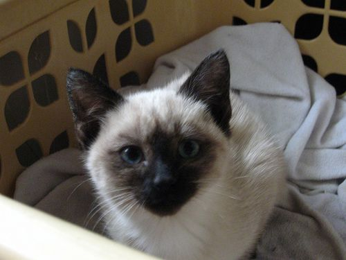 Adopt A Pair Of Kittens Violet The Seal Point Siamese