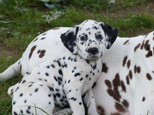 Chiots Dalmatiens Enregistres Au Ckc Chiens Chiots A Vendre Longueuil Rive Sud Kijiji Dalmatian Kijiji American Eskimo