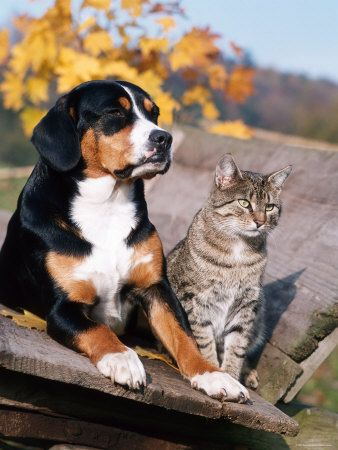 Cats Are Our Buddies Too Domestic Cat Entlebucher Mountain Dog Dogs