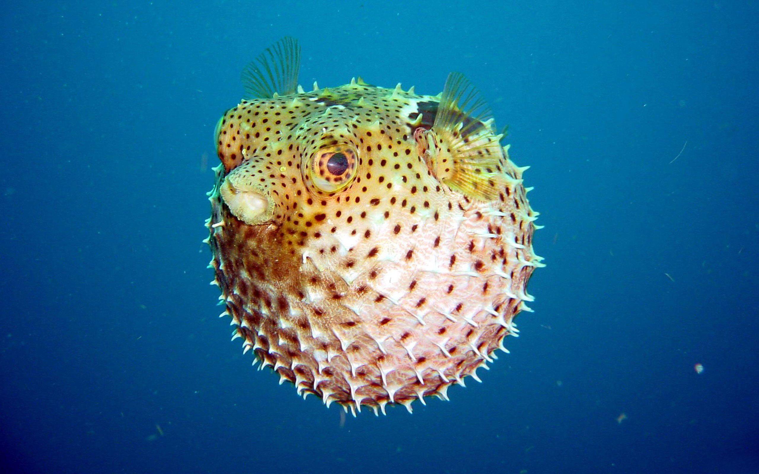 fondos pantalla pez globo hd - Buscar con Google   Pez Globo ...