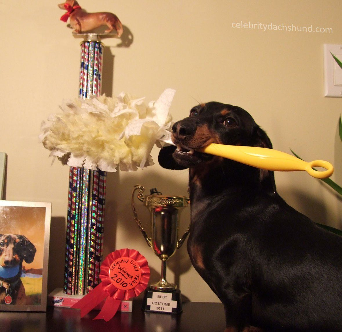 The Chores Of A Celebrity Dog Crusoe The Celebrity Dachshund Funny Dachshund Pictures Celebrity Dogs