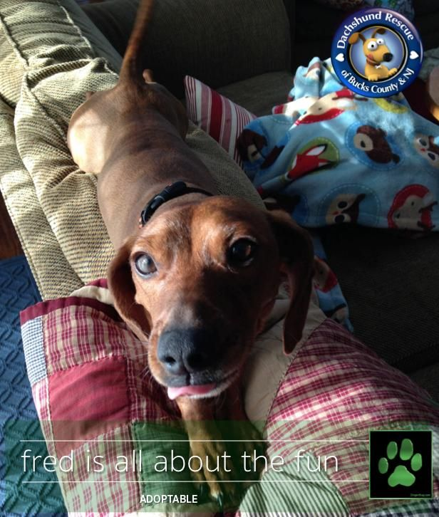 Adopt Fred On Dachshund Rescue Dachshund Adoption