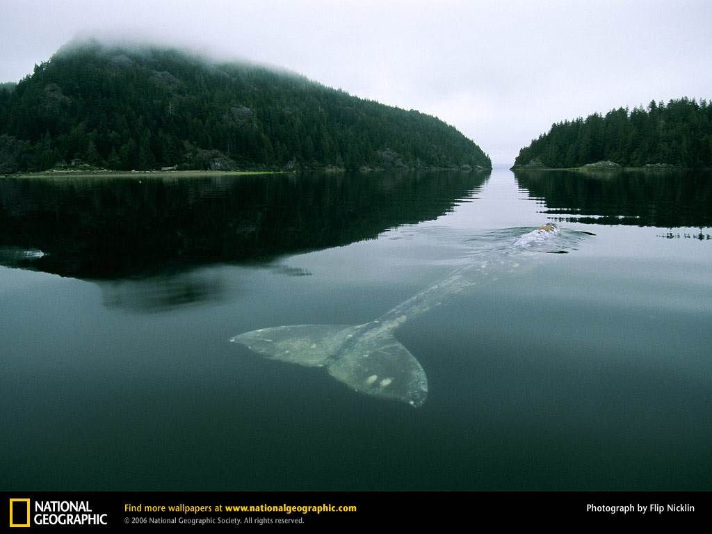 National Geographic Wallpaper Whales Whale Picture, Whale D...