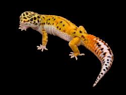 Calcium Sand For Leopard Geckos Leopard Gecko Gecko Big Lizard
