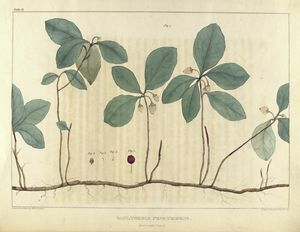 Gaultheria procumbens. ( mountain-tea) - ID: 1101745 - NYPL Digital Gallery
