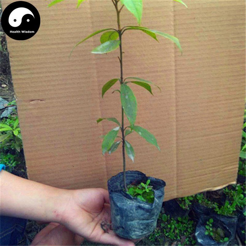 Phoebe Zhennan Tree Seeds Rare Wood Jin Si Nan Mu Seed