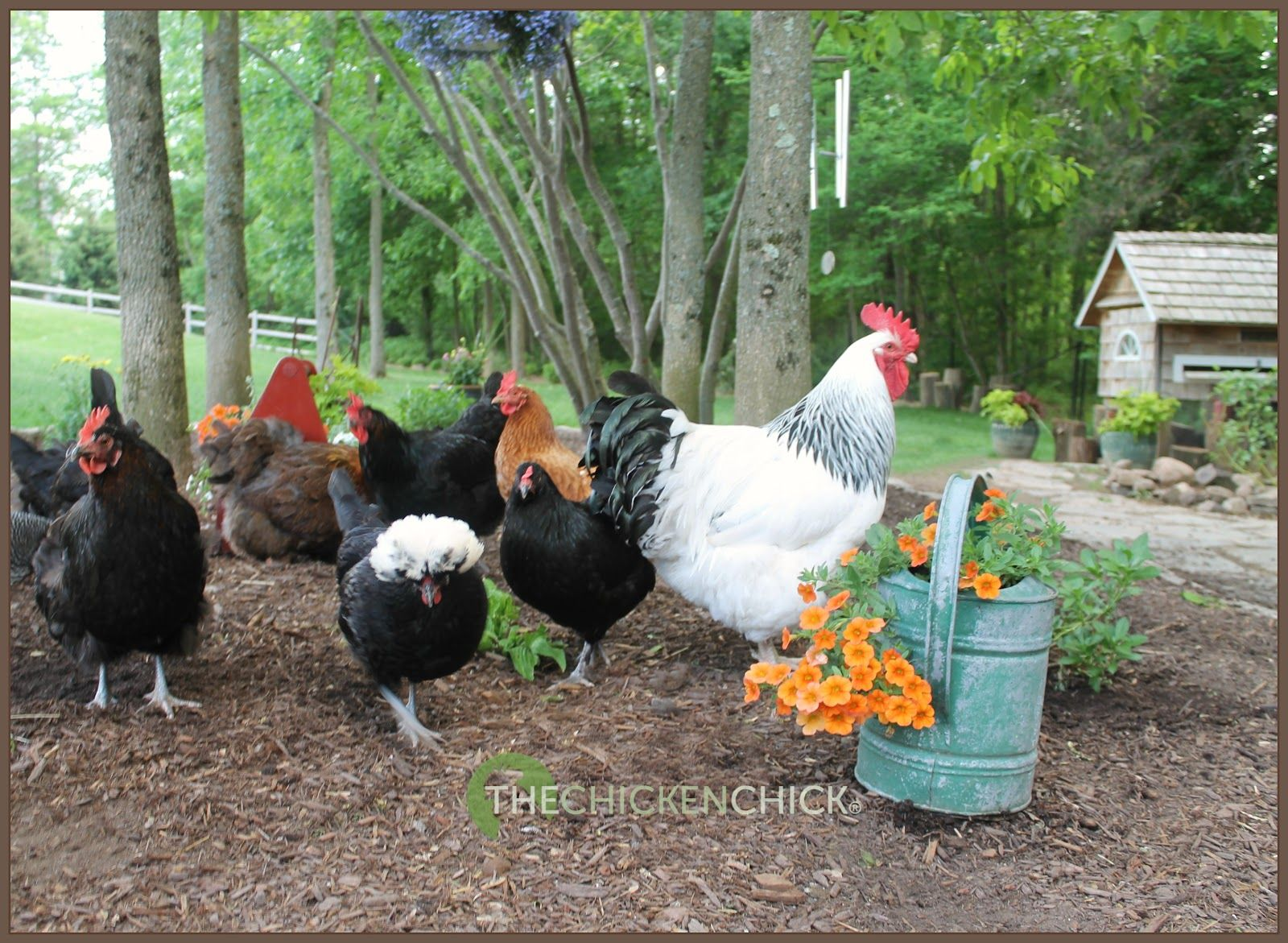 chicken picking causes and solutions coops chicken and
