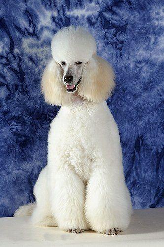 White Standard Poodle - Aladin Bohemia Anjuli - Dino