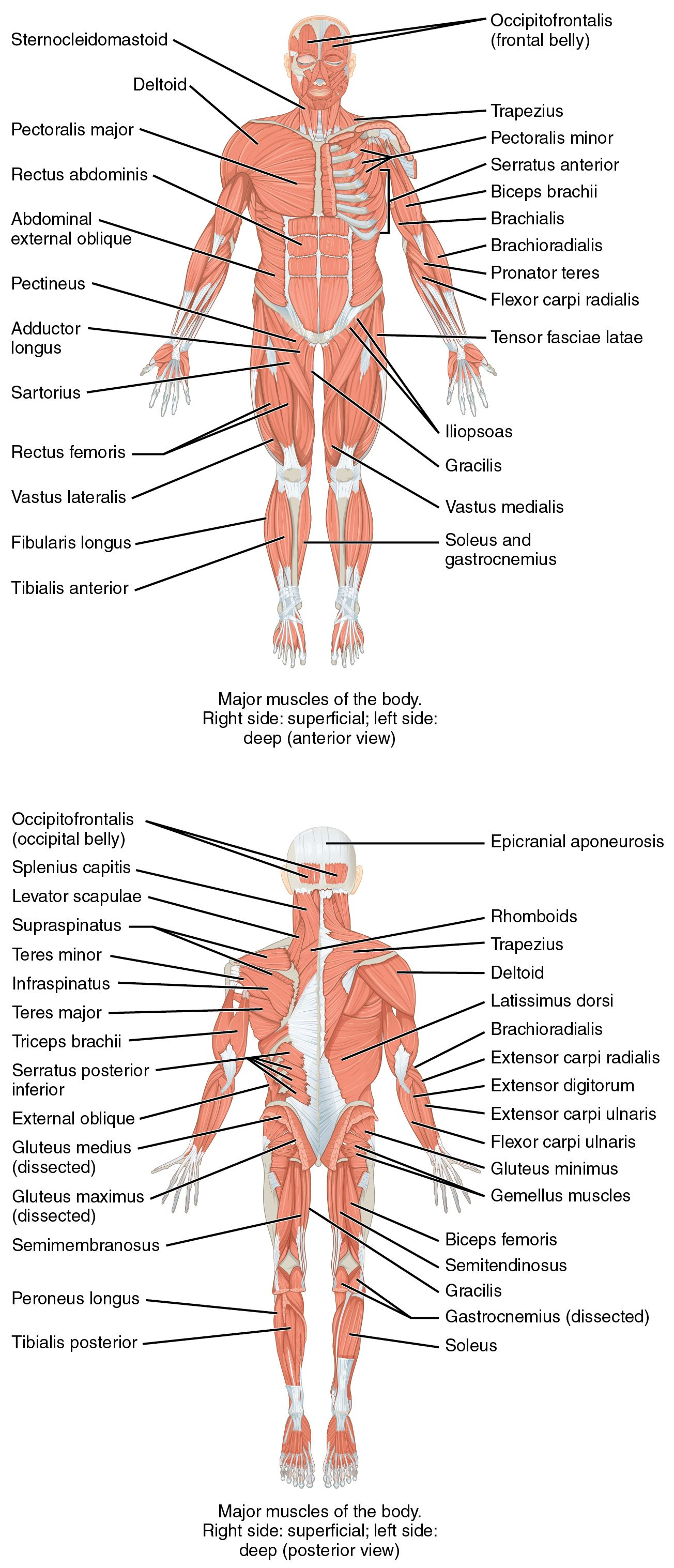 Human Muscles Labeled Koibana Info Human Body Muscles Skeletal Muscle Anatomy Human Muscular System