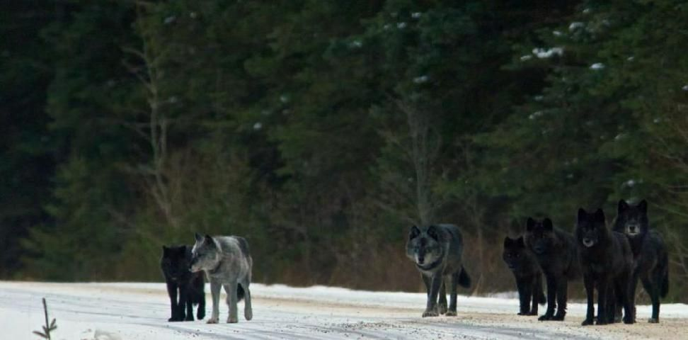 Image result for They Released 14 Wolves In A Park, But No One Was Prepared For THIS. What Happens Next Is A Miracle!