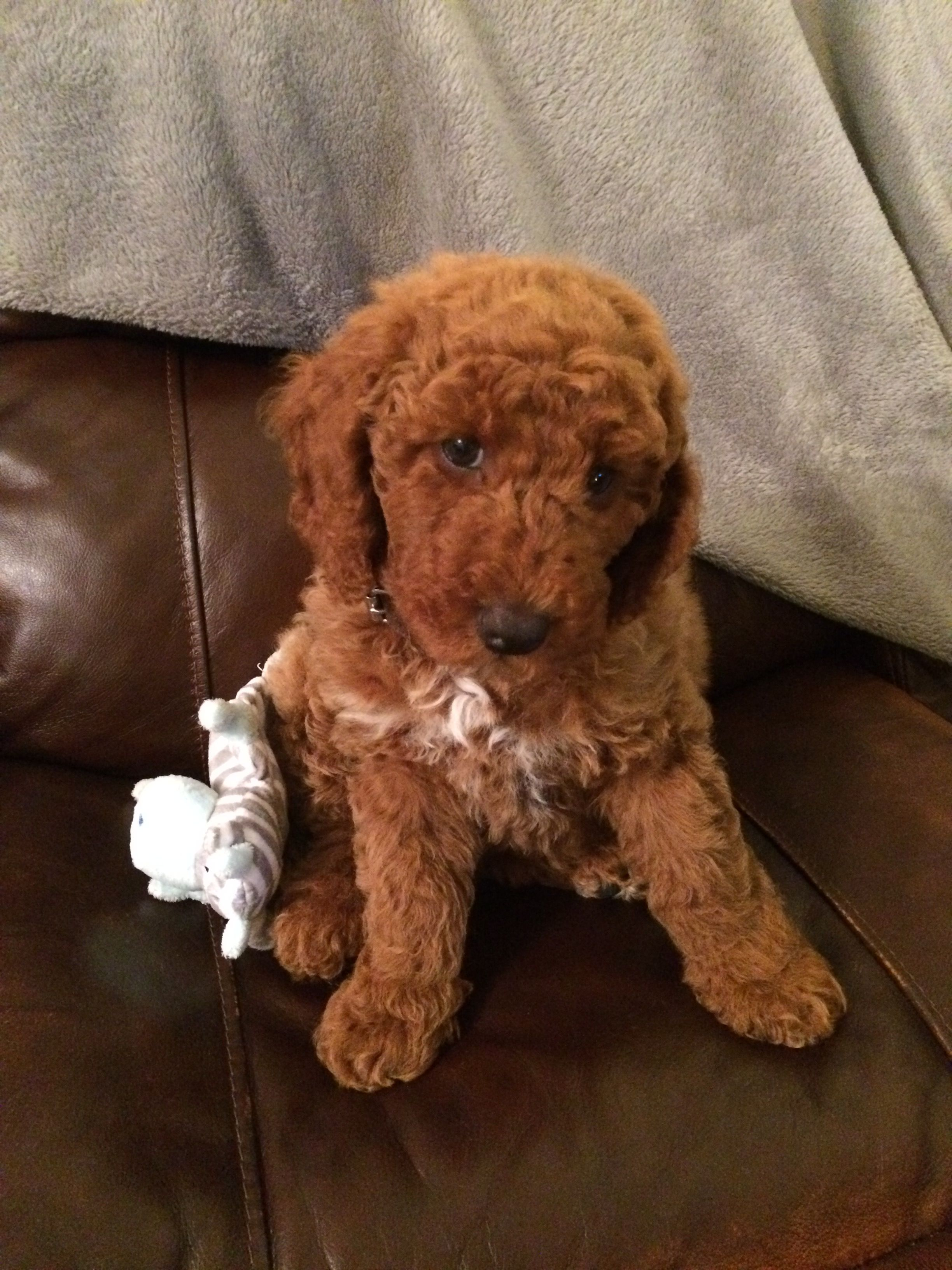 Murphy Almost 9 Weeks Old Miniature Red Poodle Red Poodles
