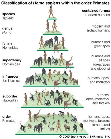 Image result for homosapiens classification tree